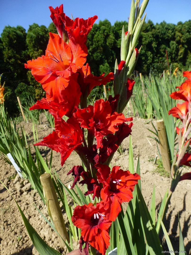 Mečík Tyfón (Gladiolus x hybridus)