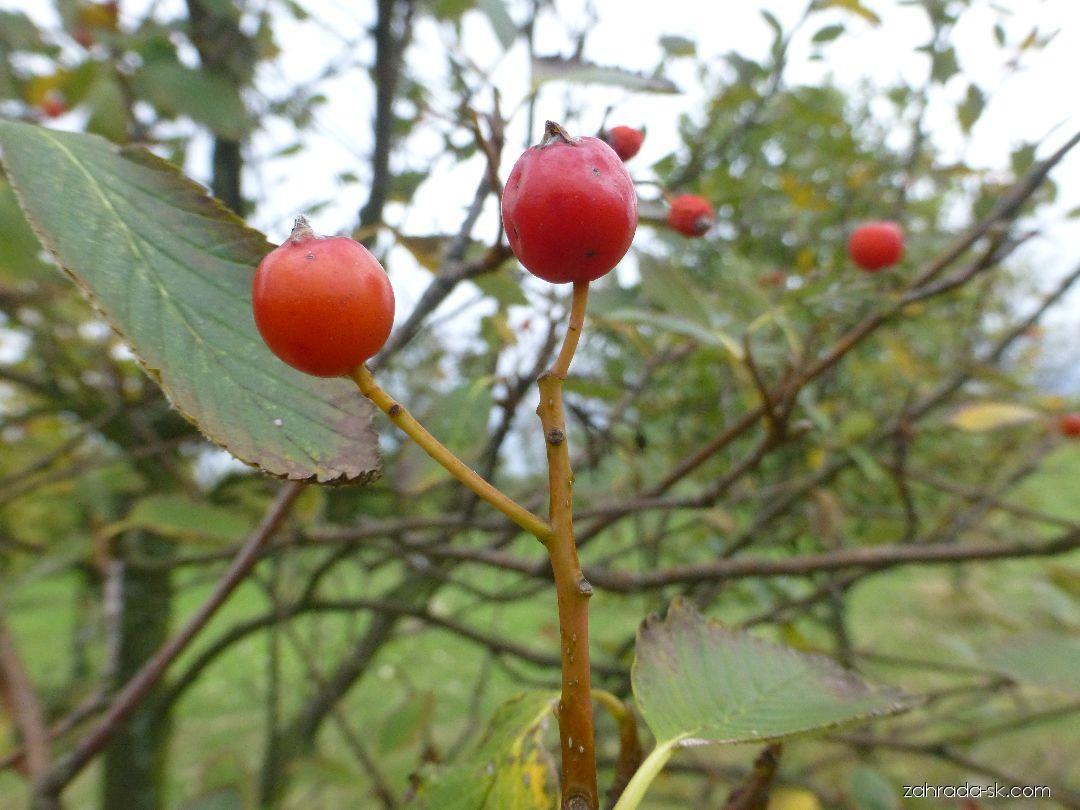 Jarabina - Sorbus mougeotii
