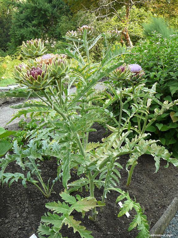 Artyčok zeleninový (Cynara scolymus)