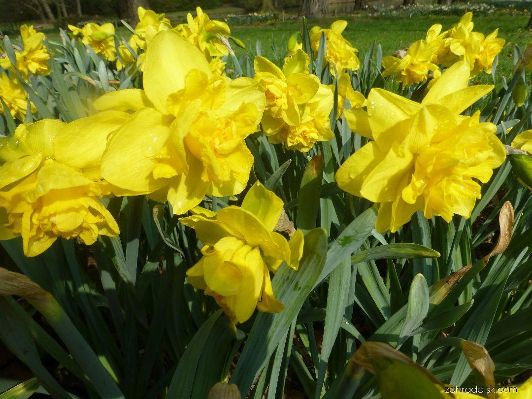 Narcis zahradní Dick Wilden (Narcissus x hybridus)
