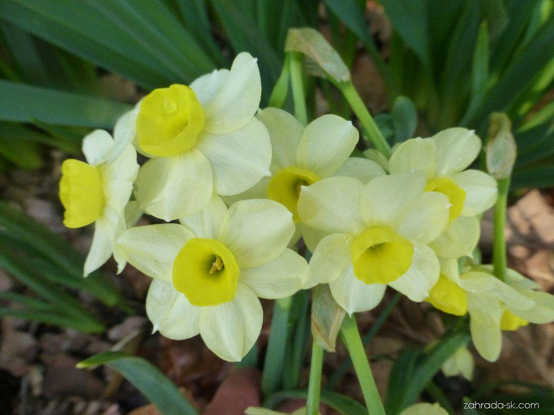 Narcis Minnow (Narcissus x hybridus)