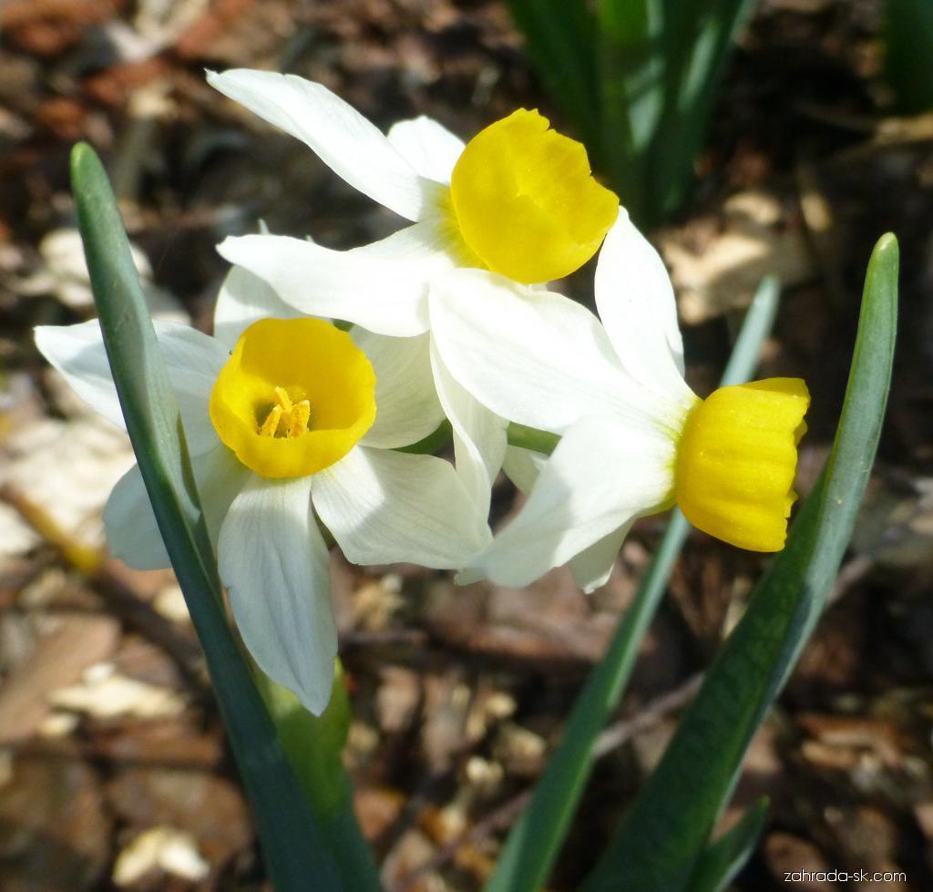 Narcis Canaliculatus (Narcissus x hybridus)
