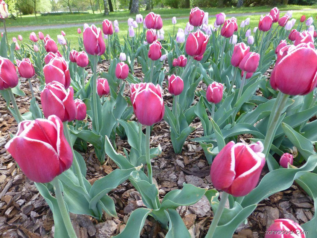 Tulipán - Tulipa Furand