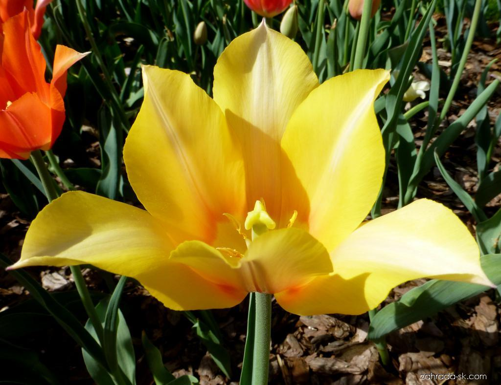 Tulipán - Tulipa Blushing Lady