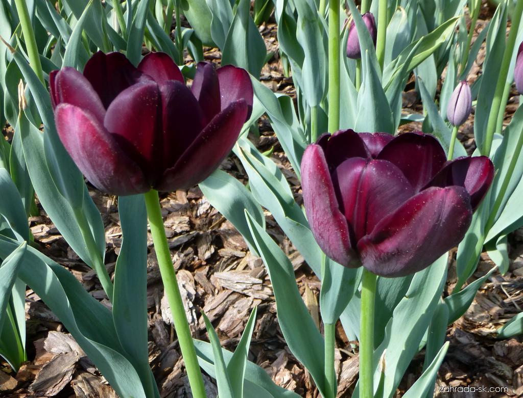 Tulipán - Tulipa Queen of Night