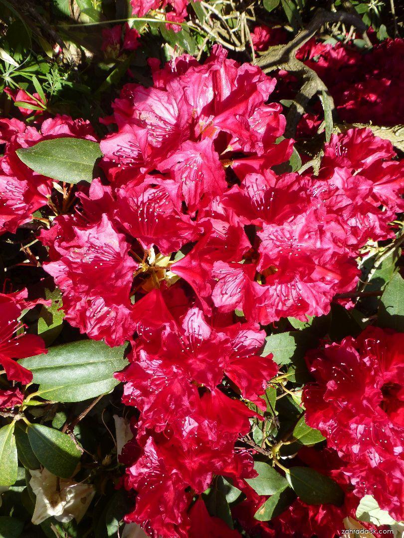 Rododendron - Rhododendron Nicoline