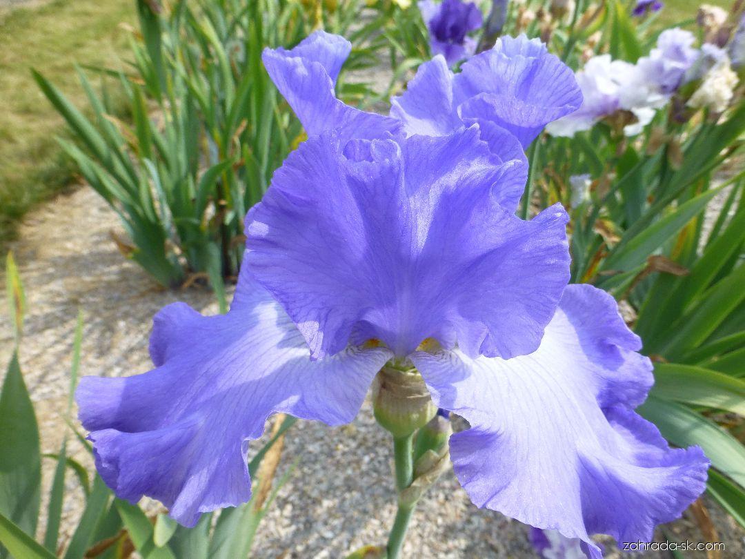 Kosatec záhradný - Iris barbata Heure Bleue