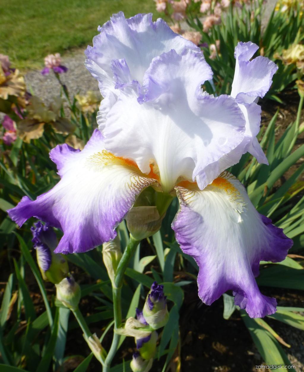 Kosatec bradatý Conjuration (Iris barbata elatior)