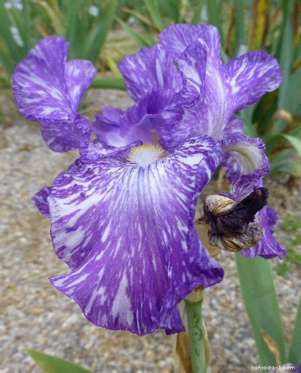 Kosatec bradatý Purple Streaker (Iris barbata elatior)