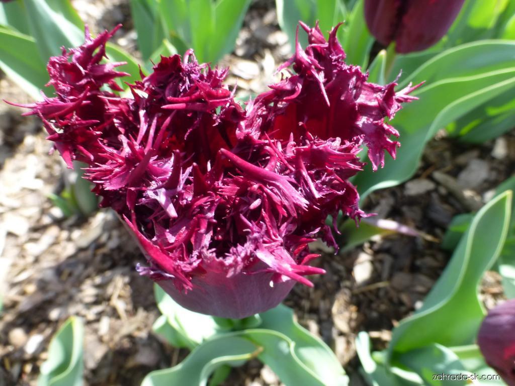 Tulipán - Tulipa Black Jewel