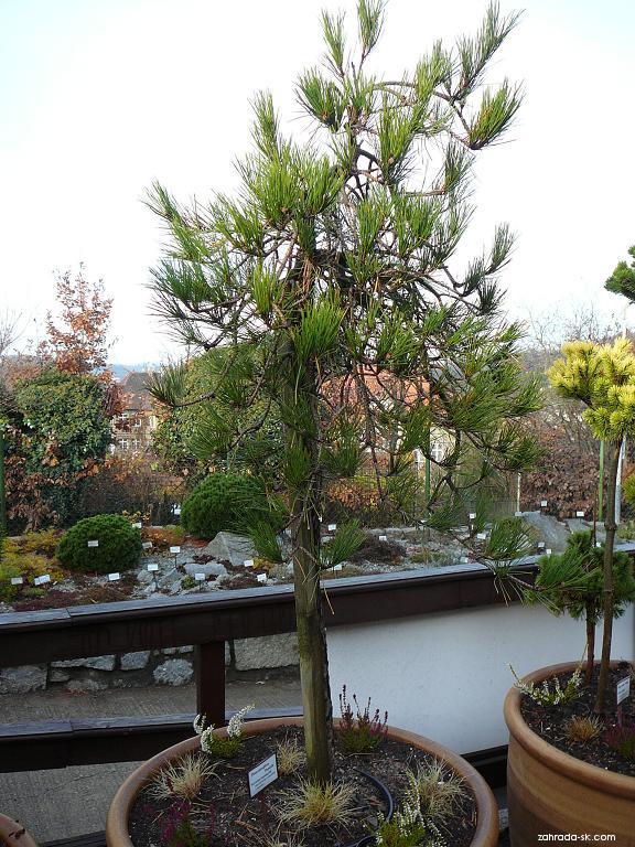 Borovice hustokvětá (Pinus densiflora)