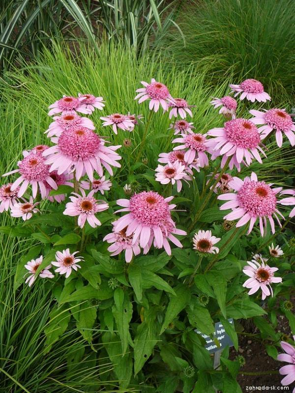 Třapatkovka Pink Double Delight (Echinacea)