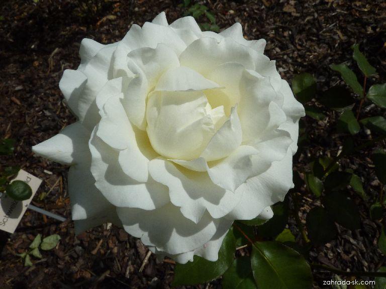 Růže White Masterpeace (Rosa)
