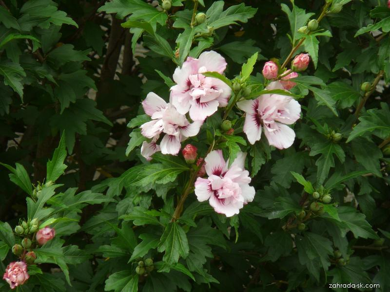 Ibišek syrský - květ (Hibiscus syriacus)