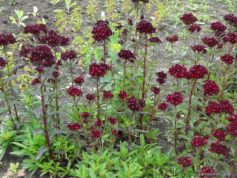 Klinček bradatý - Dianthus barbatus
