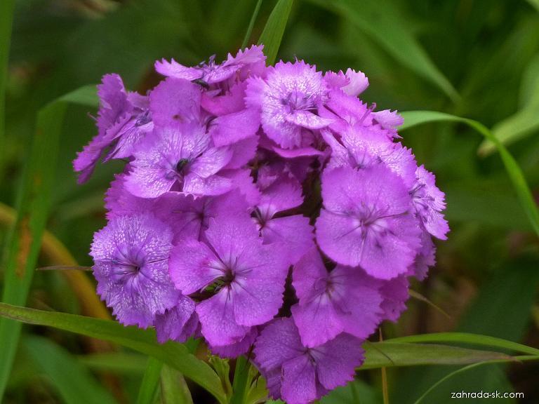 Hvozdík bradatý - květ (Dianthus barbatus)