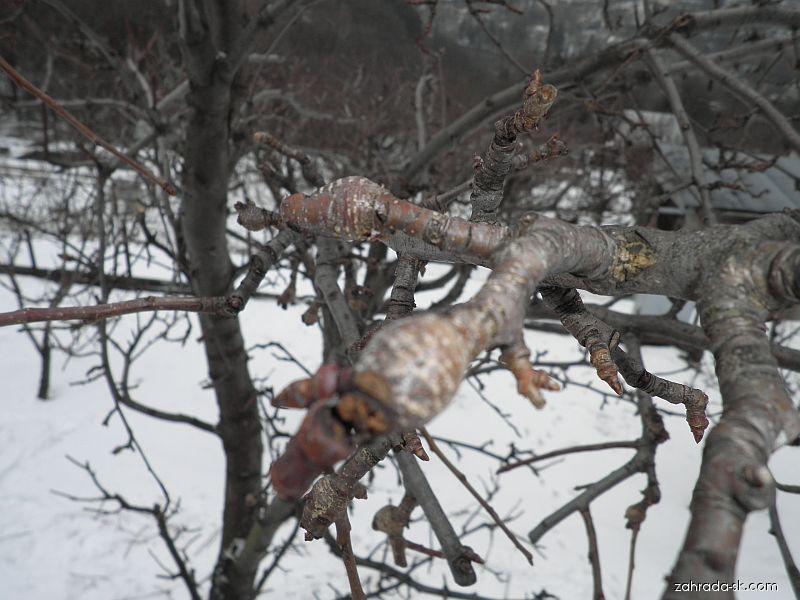 Hruška: drevnaté výčnelky