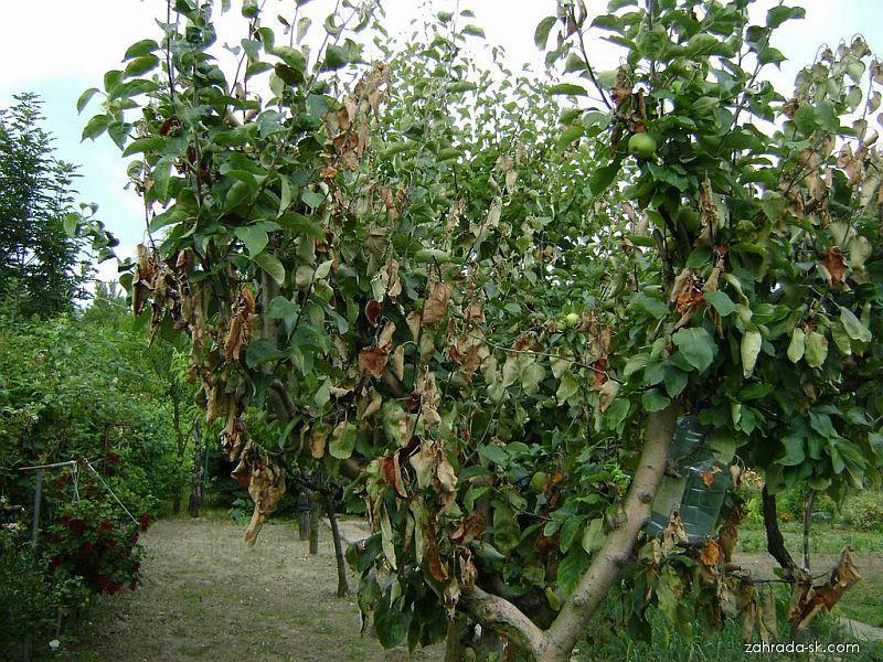 Jabloň - spálené výhonky