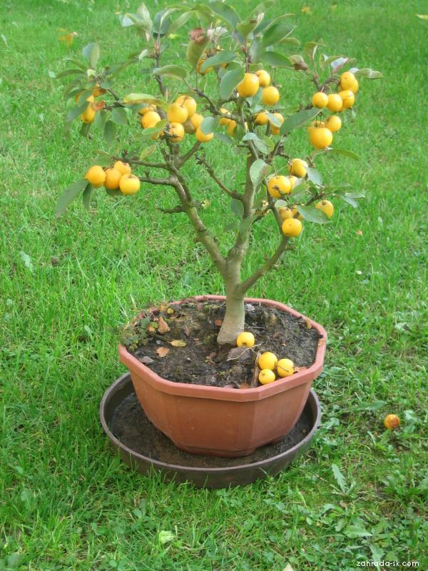 Bonsaj - podzimní sklizeň