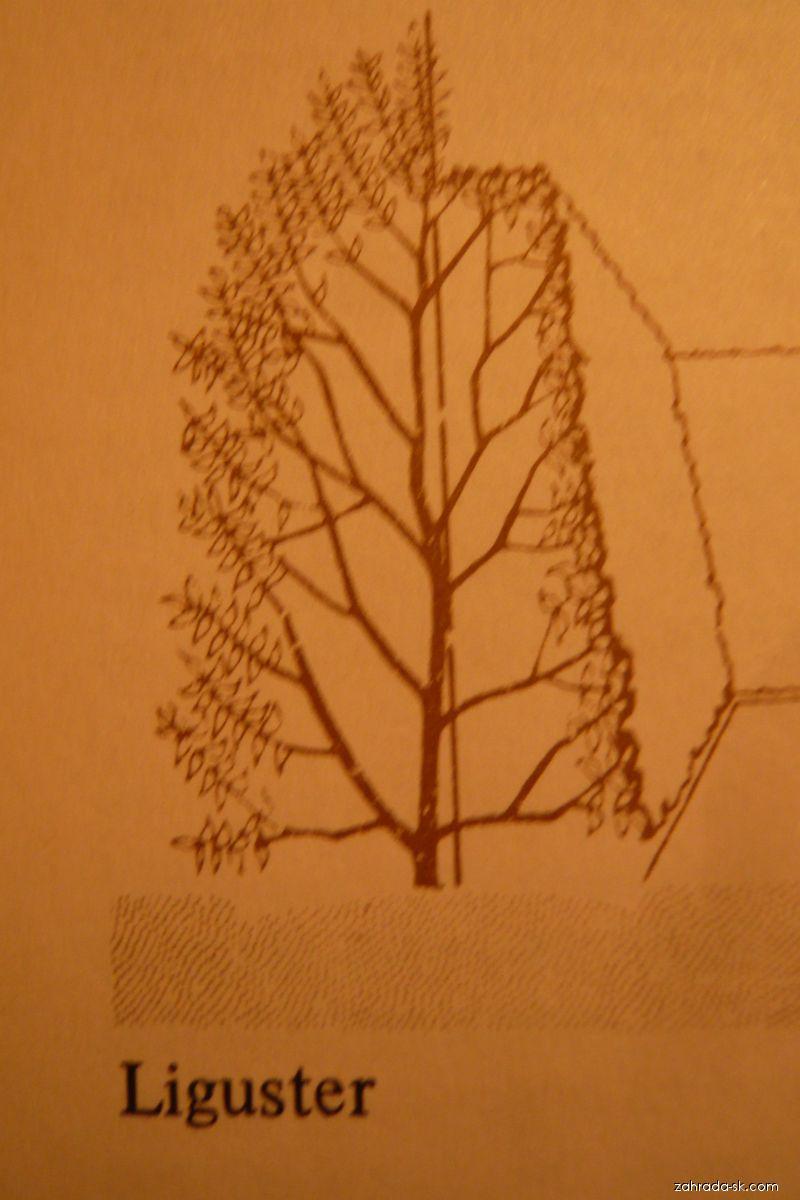 Pačí zob vejčitý-stříháme (Ligustrum ovalifolium)