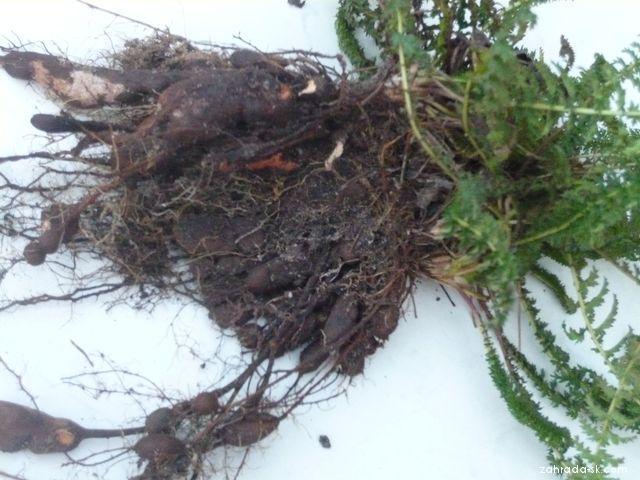 Tužebník obecný, kořen, hlízy (Filipendula vulgaris)