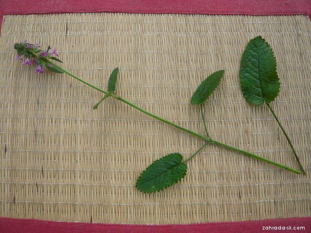 Bukvice lékařská - celá rostlinka (Betonica officinalis)