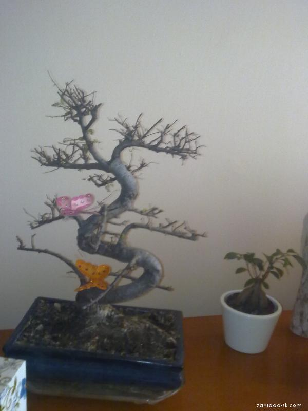 takto vyzerá môj bonsaj - pomôže prosím niekto????vďaka