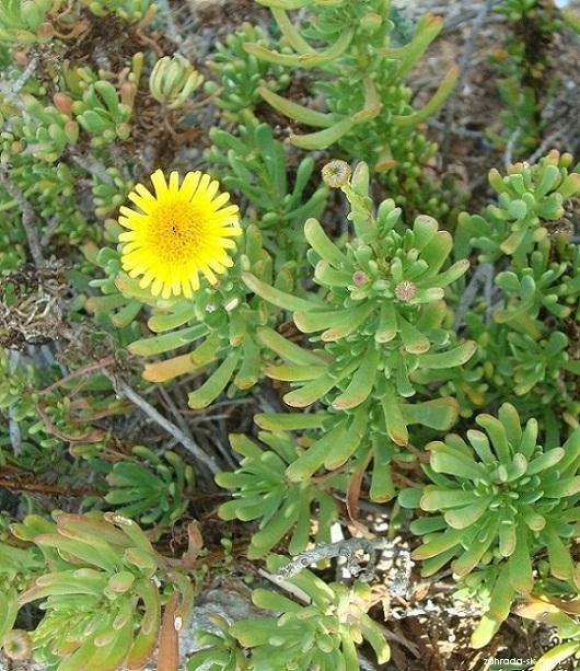 Inula (Inula crithmoides)