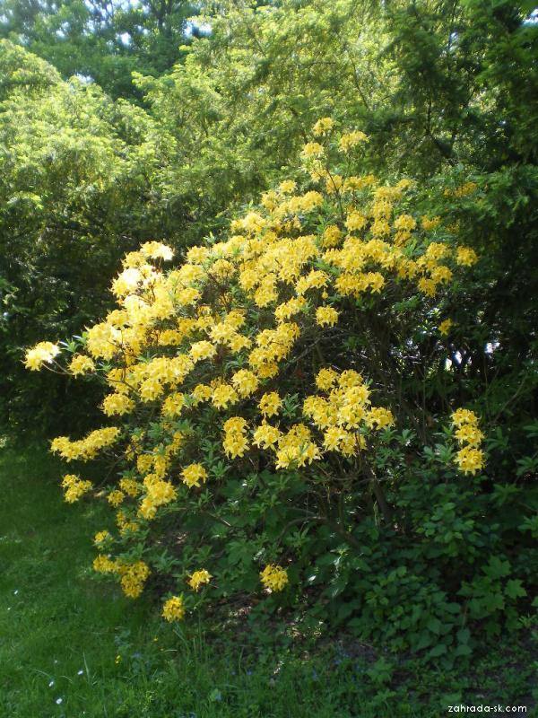 Rhododendron žlutý (Rhododendron luteum)