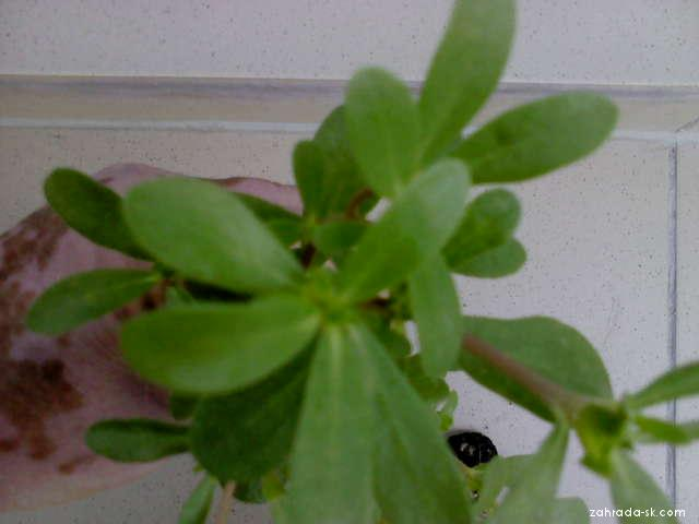 Šrucha zelná (Portulaca oleracea)