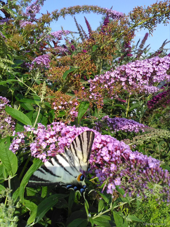Komule Davidova - motýlí keř (Buddleia davidii)