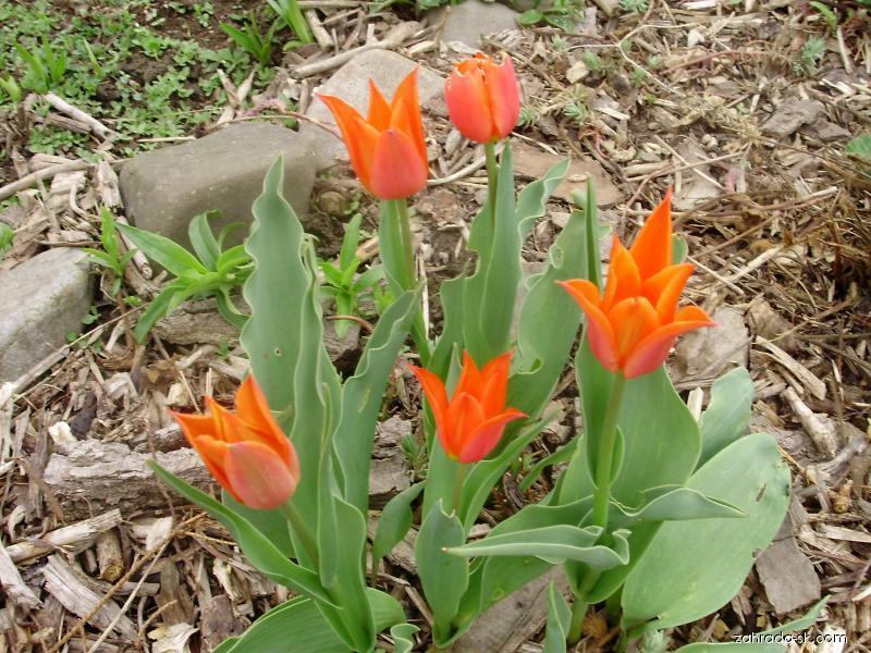Tulipán (Tulipa)