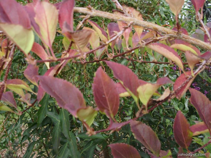 Zlatý déšť (Forsythia)