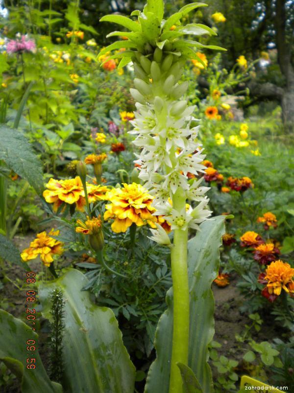 Chocholatice (Eucomis autumnalis)