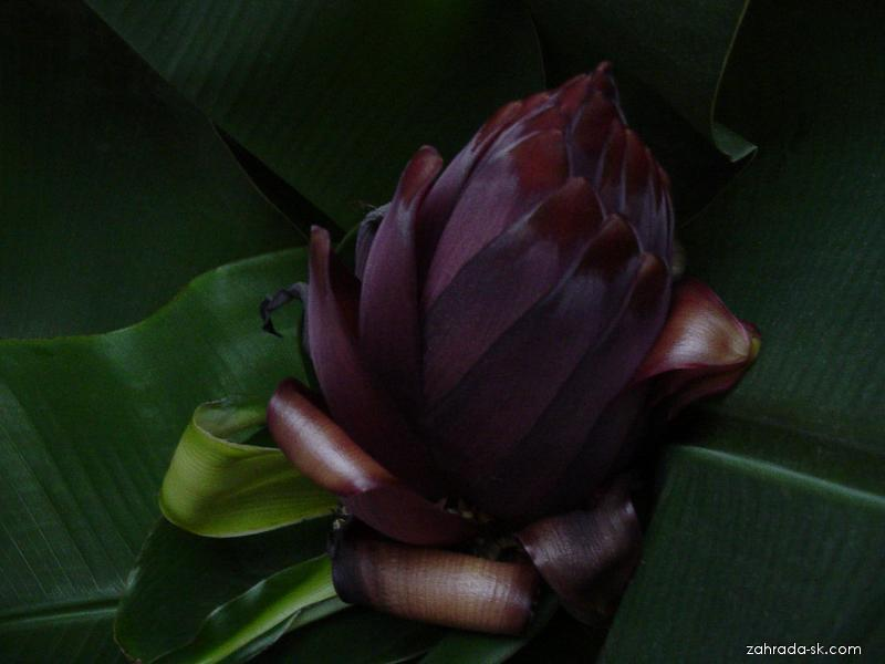 Banánovník - kvet (Musa)