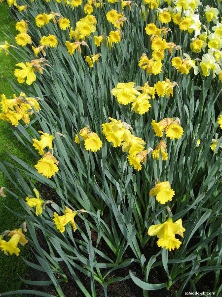 Narcissus Dutch Master (narcis)