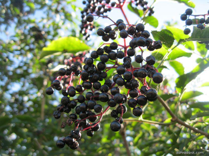 Bez černý (Sambucus nigra)