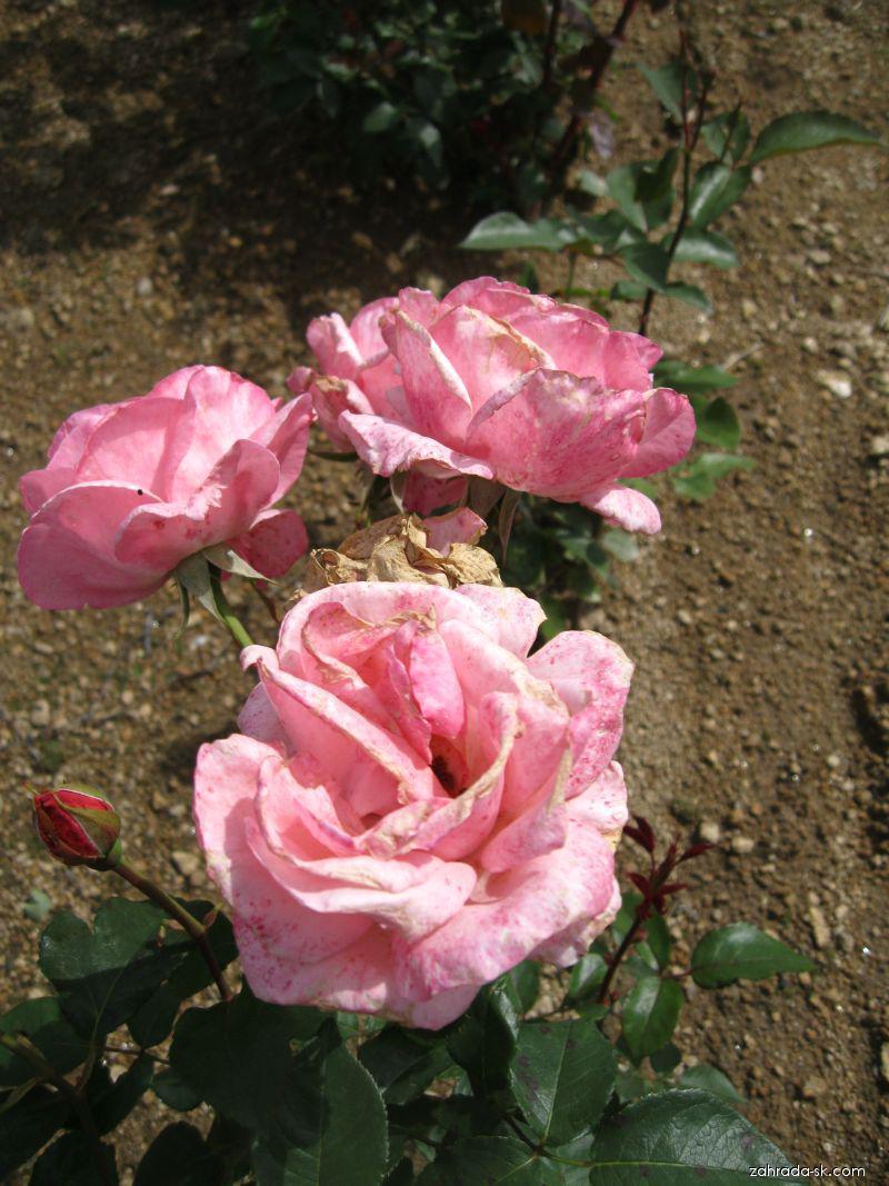 Růže Elisabet Rose (Rosa sp)