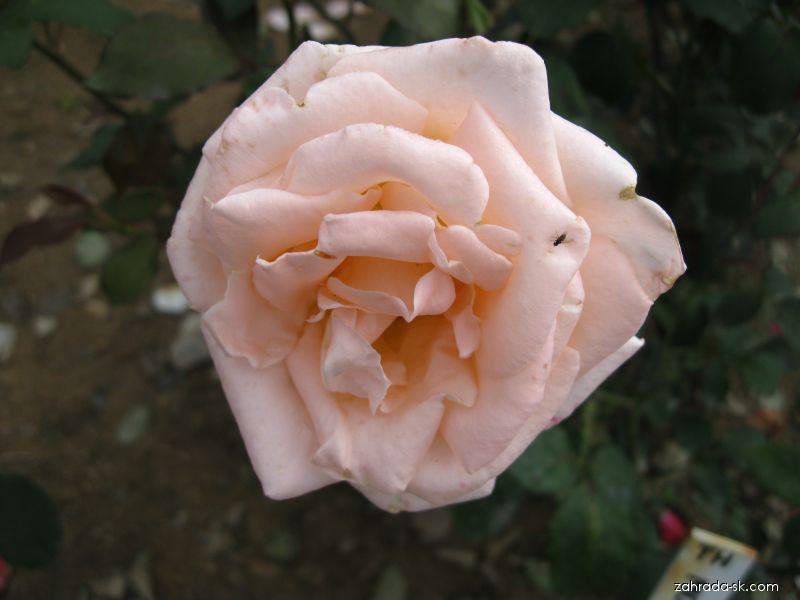 Růže Monica Scholle (Rosa sp)