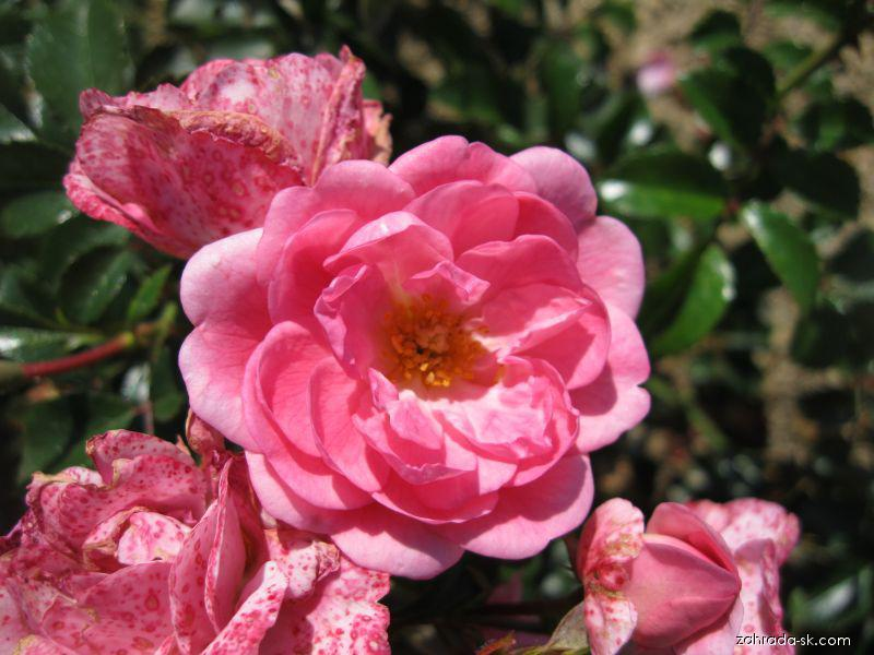 Růže Palmengarten Frankfurt (Rosa sp)