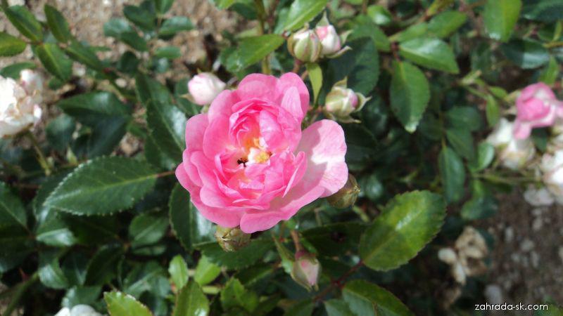 Růže The Feiry (Rosa sp)