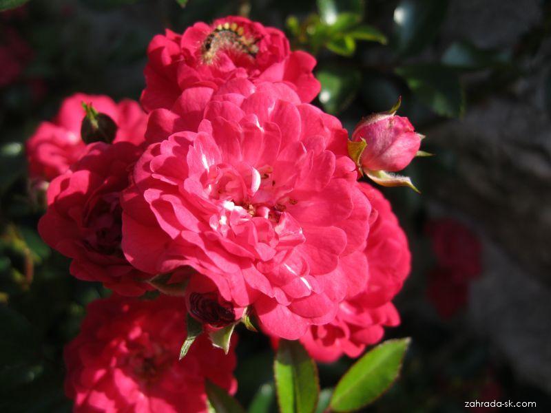 Ruža - Rosa Fairy Queen