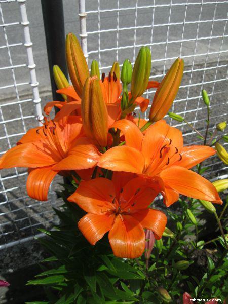 Ľalia - Lilium x hybridum Bursa