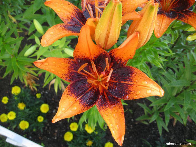 Ľalia - Lilium x hybridum Orange Art