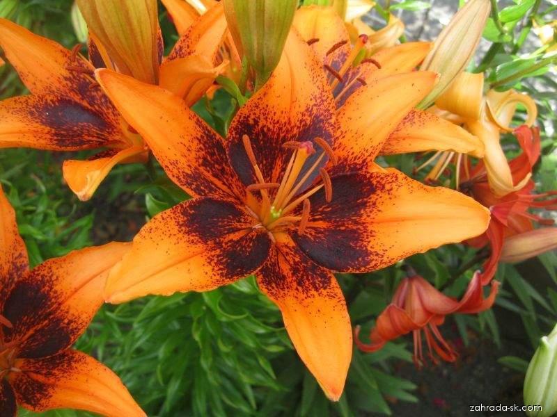 Lilie Orange Art - Asijský hybrid (Lilium x hybridum)