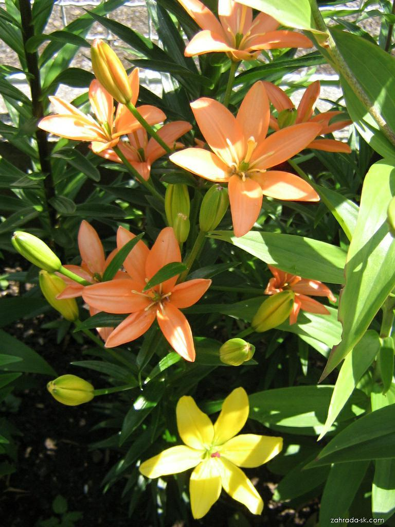 Ľalia - Lilium x hybridum Orange Cocotte