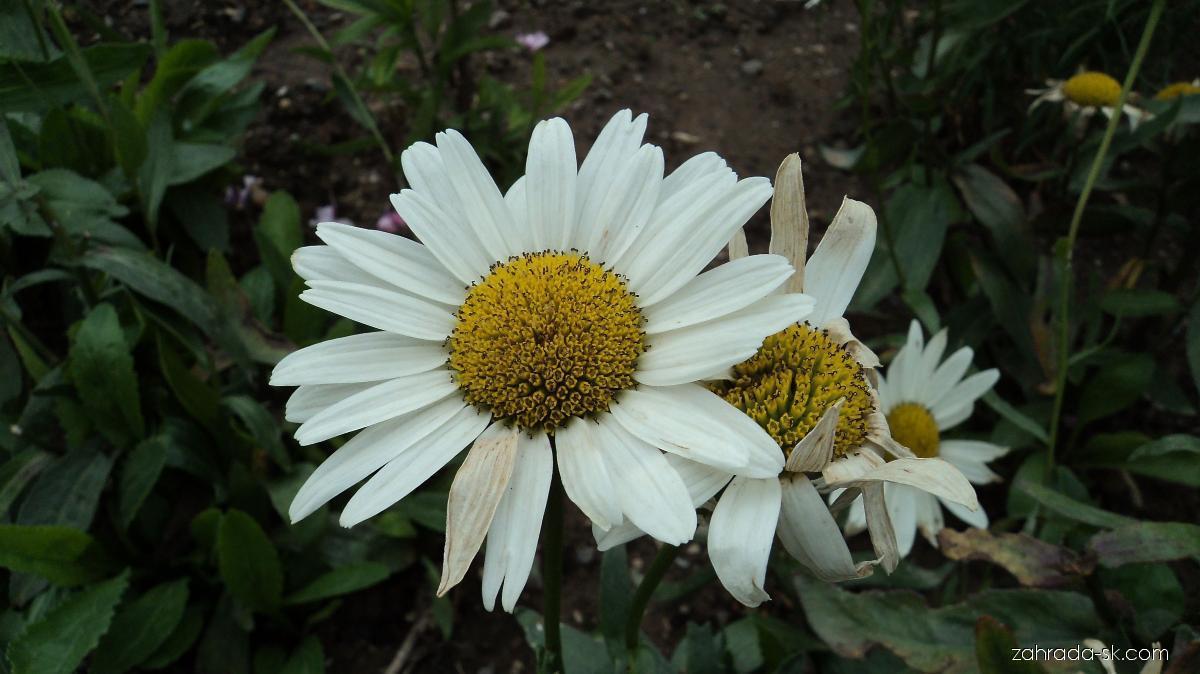 Margaréta veľkoúborová - Leucanthemum x superbum