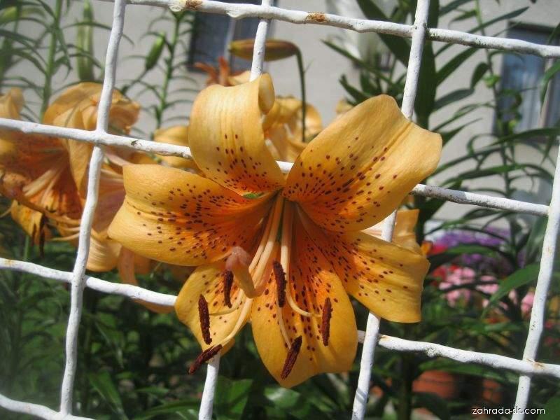 Lilie Evina - AT hybridy (Lilium x hybridum)