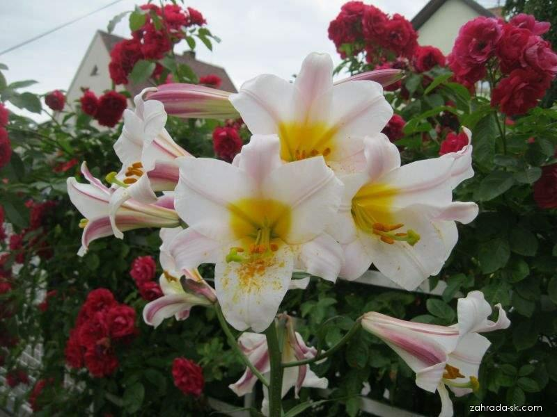 Ľalia - Lilium x hybridum Regale