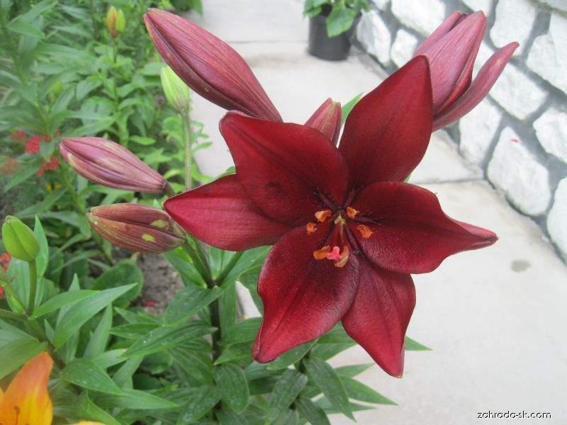 Lilie Constable - LA hybridy (Lilium x hybridum)